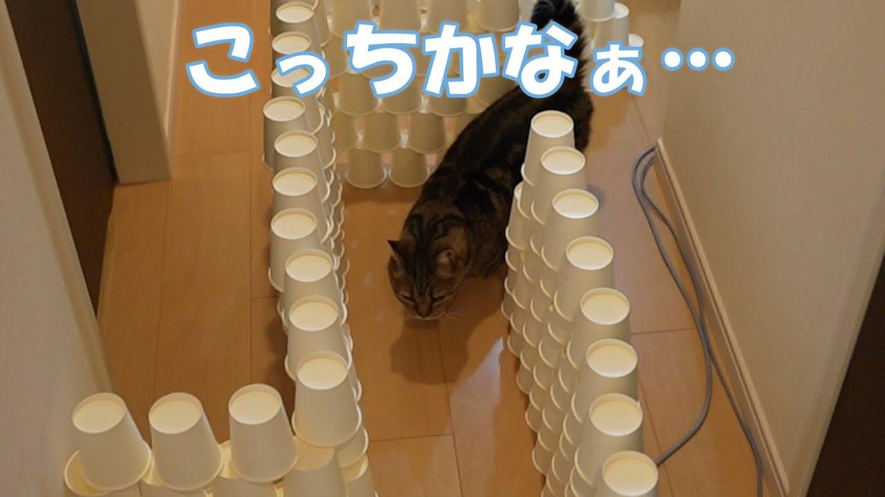 【猫動画】ネコリンピック開催!迷路が正式種目に採用されたって!?